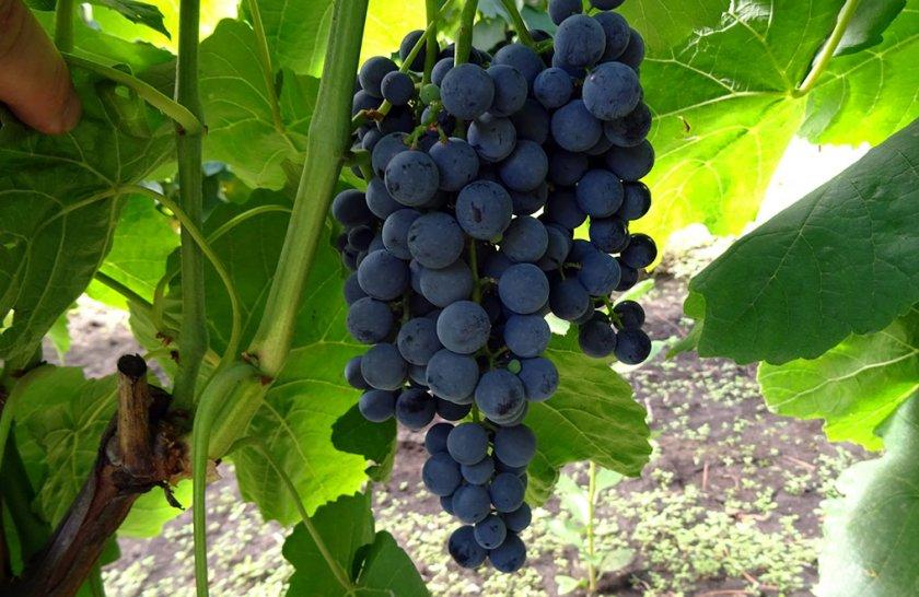 сорт винограда венус фото и описание
