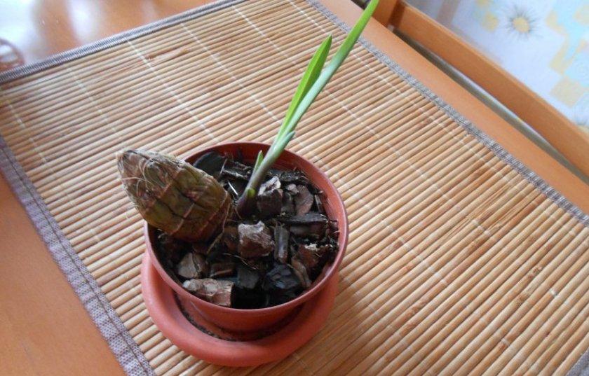 Посадка луковицы орхидеи