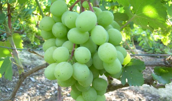 Виноград сорт алекса ранняя