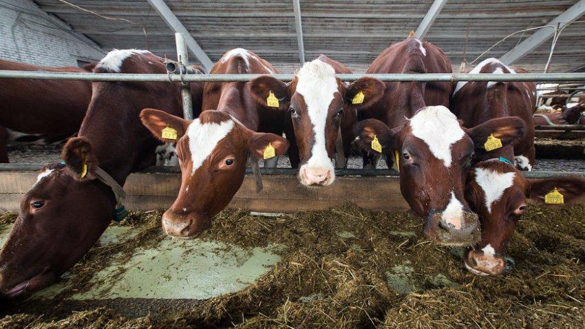 Много коров в коровнике