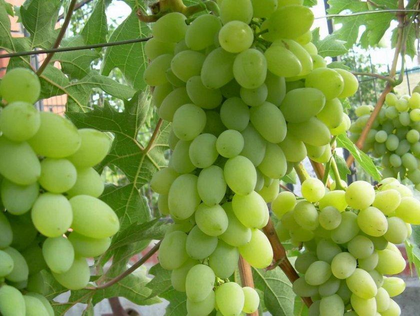 Виноград Алекса