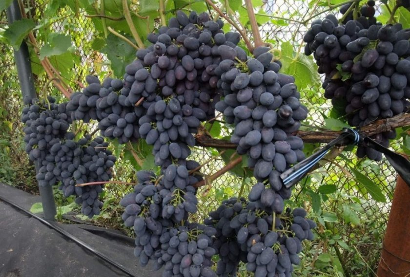 Выращивание черных сортов винограда