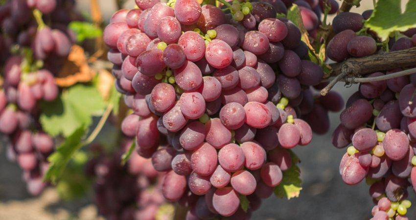 Гурзуфский розовый виноград