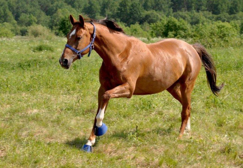 Уход за ганноверской породой лошадей