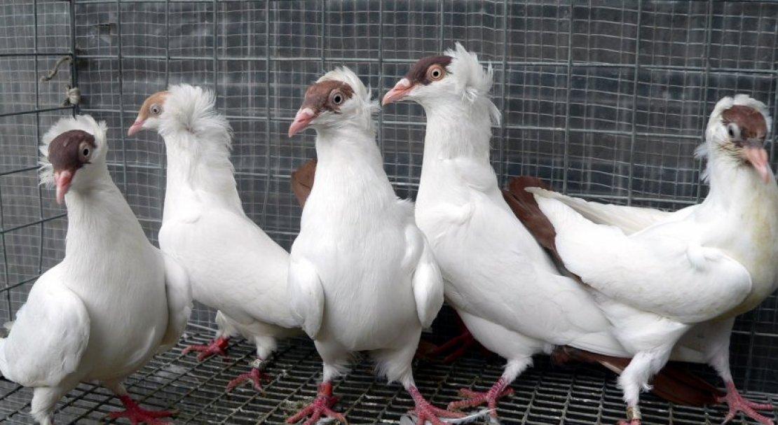 голуби московские монахи