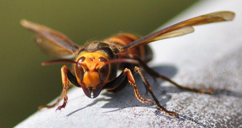 Африканизированная пчела-убийца