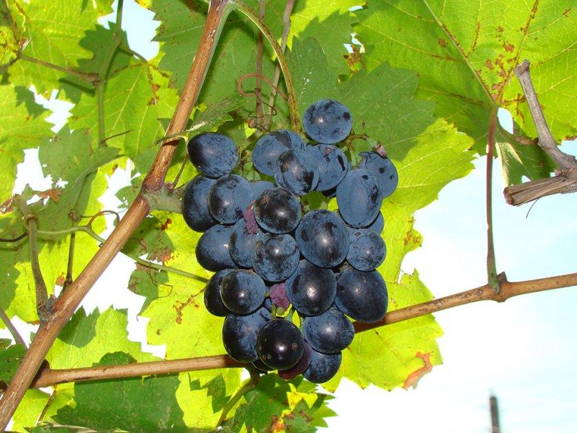 Описание сорта винограда Мерседес