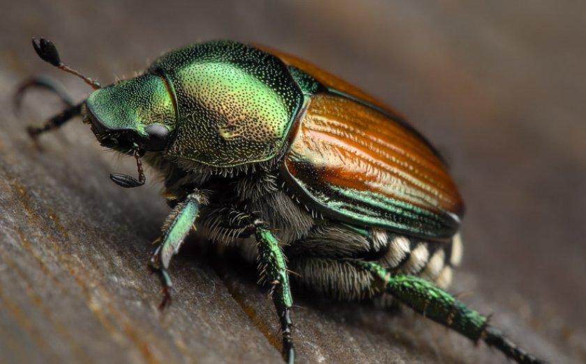 Японский жук