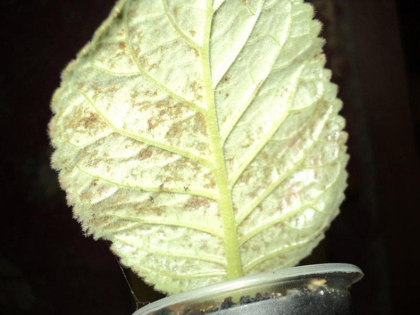 Ржавичный гриб