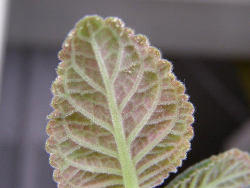 Наличие белокрылки на листке глоксинии