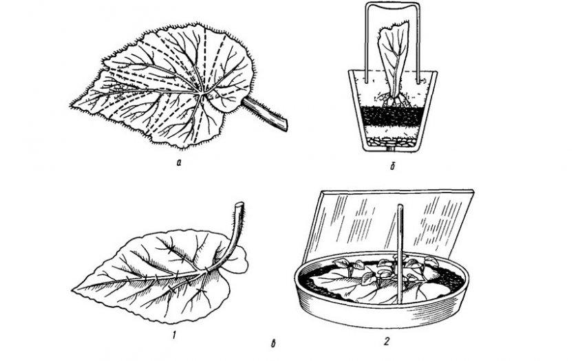 Размножение бегонии листовыми черенками