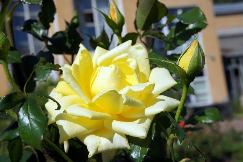 Выбор места для выращивания роз Ландора