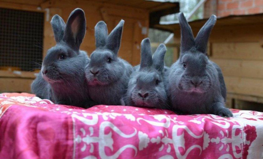 Выбор кроликов породы венский голубой