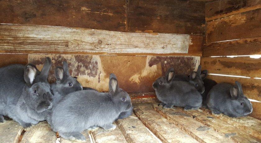 Содержание венских голубых кроликов
