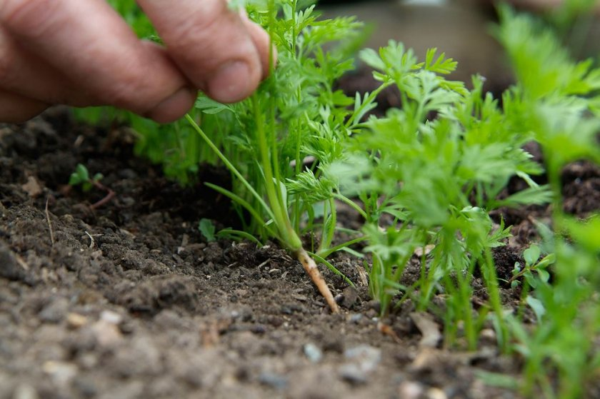 Прореживание морковных восходов