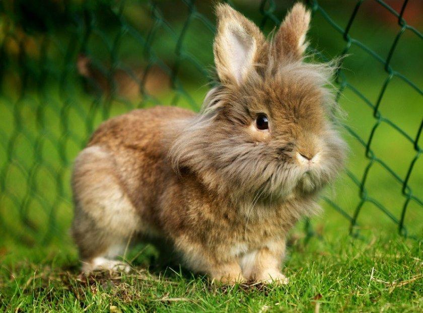 Львиноголовый кролик