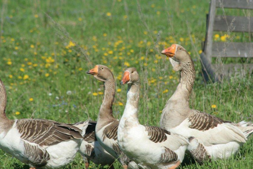 Содержание крупных гусей в летний период