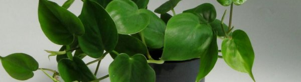 Филодендрон уход в домашних условиях, фото и видео