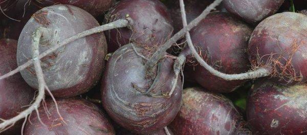 Столовая свекла Бордо 237: описание и фото, характеристики, выращивание – когда сажать