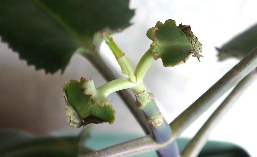 Причины опадения листьев у каланхоэ