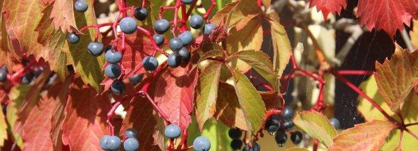 Растение девичий виноград: ядовитое или нет
