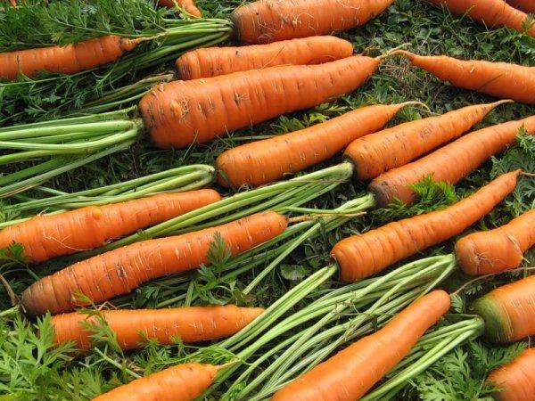 Королева осени особенности сорта моркови