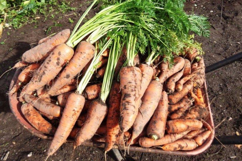Сроки созревания моркови Королева осени