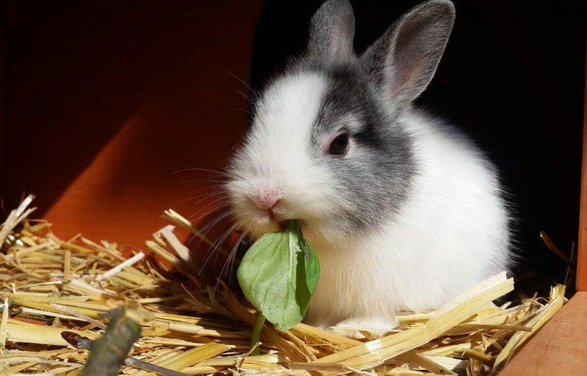 Карликовый кролик