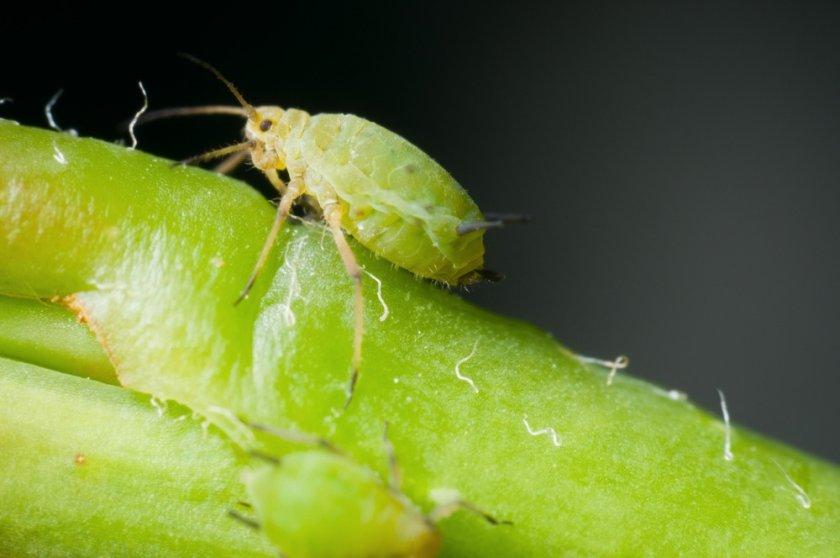 Зелёная листовая тля