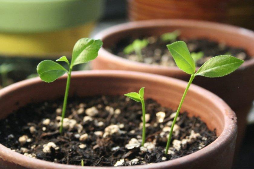 Ростки цитруса из семян
