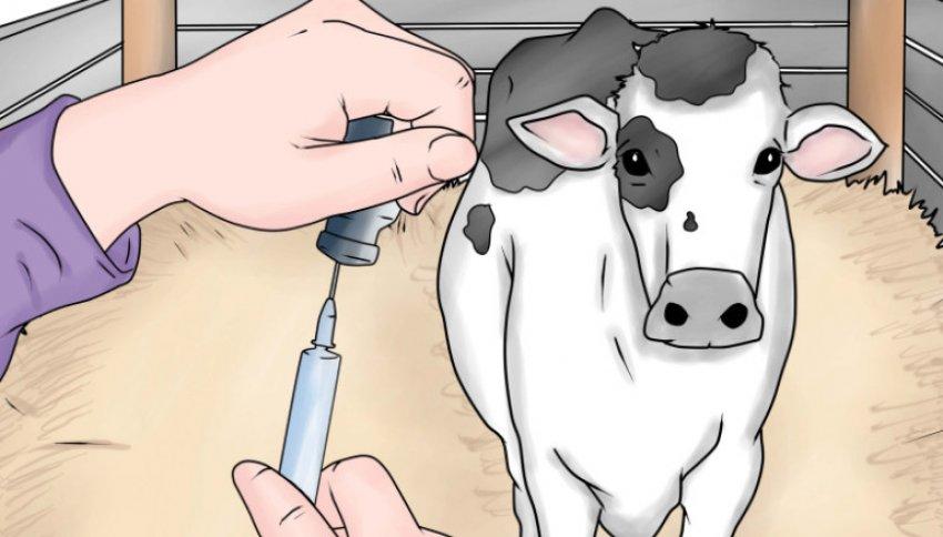 Инъекции для коровы