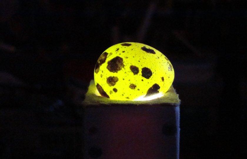 Овоскопирование перепелиного яйца