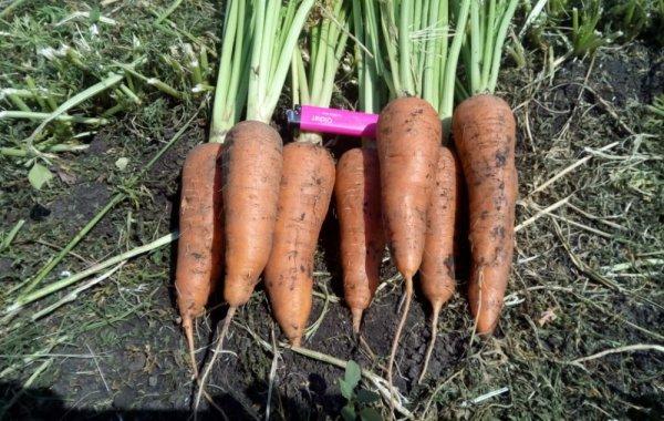 Характеристика и описание сорта моркови Абако урожайность