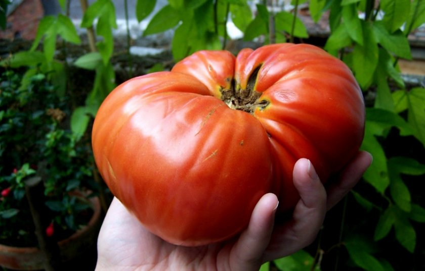 Бердский томат