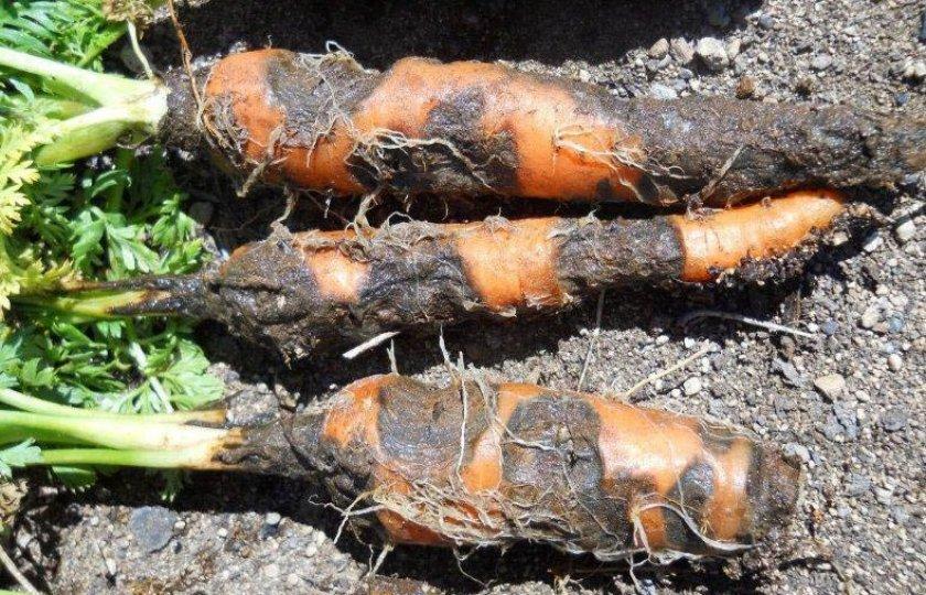 Ризоктоноз моркови