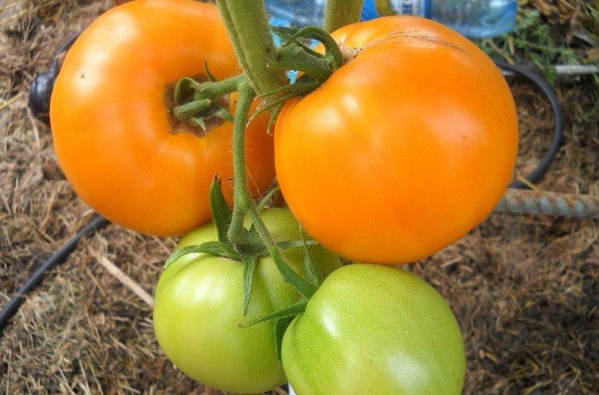 Выращивание томатов Апельсин