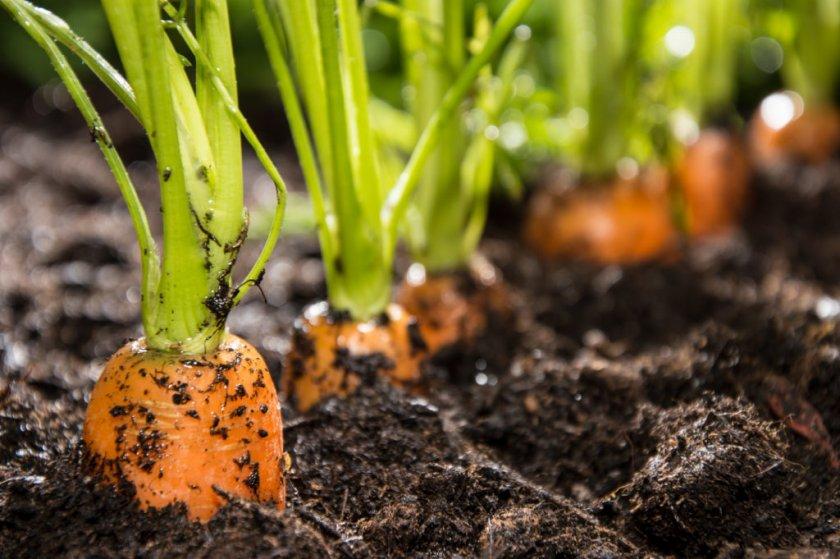 Скорость созревания моркови