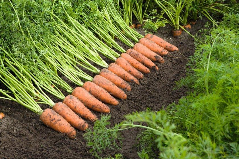 Гибридный сорт моркови