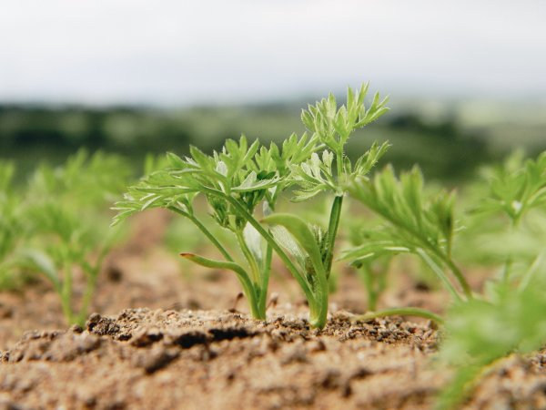 Удобрение для моркови при посадке весной