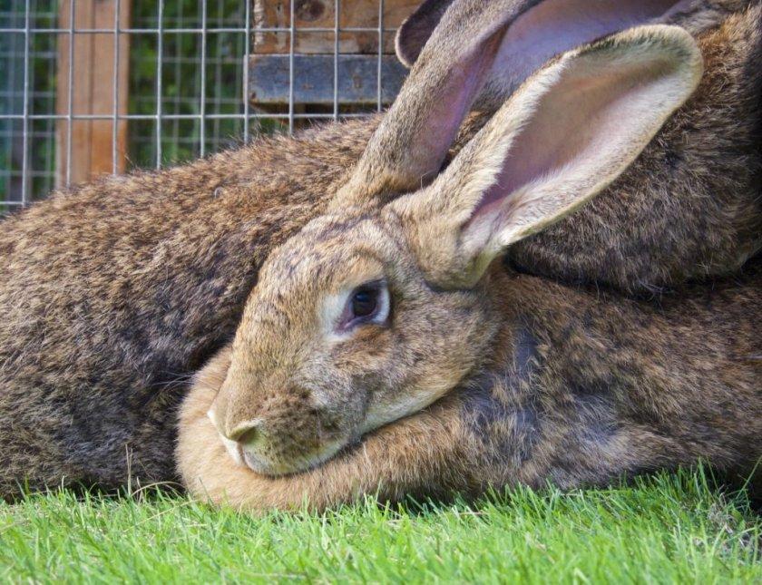 Как распознать беременность кроликов