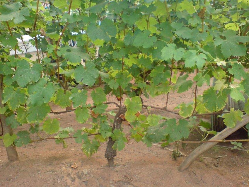 Веерный куст винограда