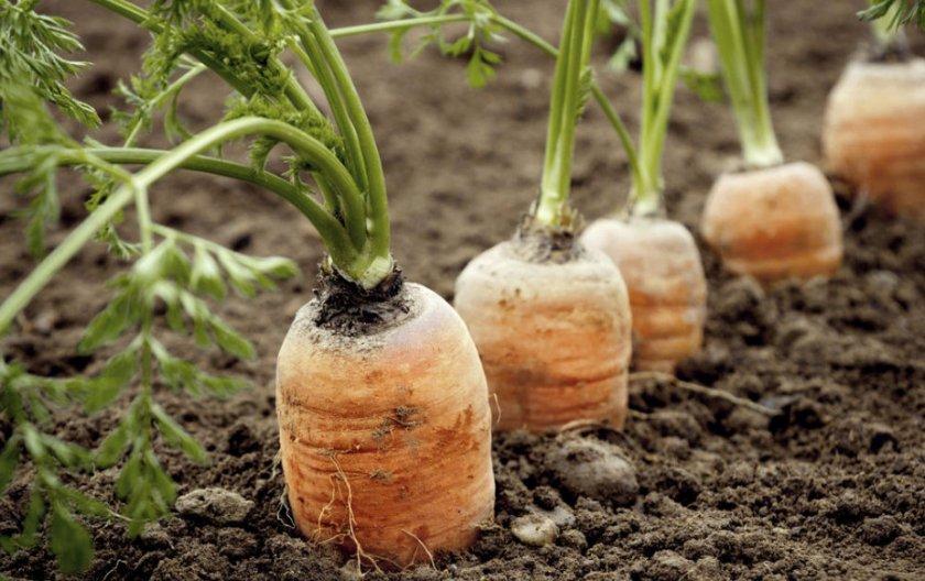 Морковь вянет на грядке