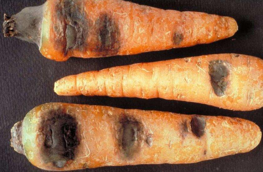 Бактериальная гниль моркови