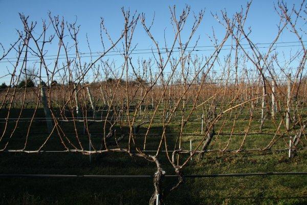 Полувеерная формировка винограда