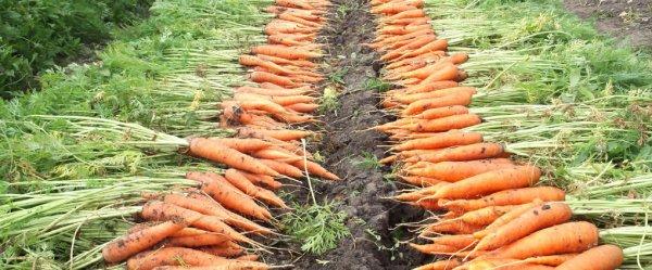 Сроки уборки моркови советы по сбору урожая