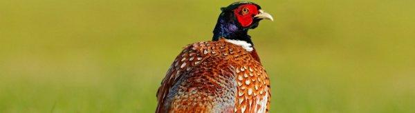 Виды и породы фазанов для домашнего разведения. Обзор самых популярных пород фазанов