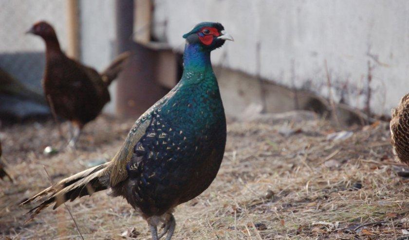 Зелёный фазан