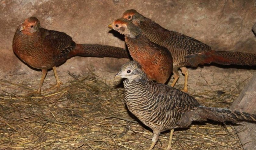 Молодняк фазанов