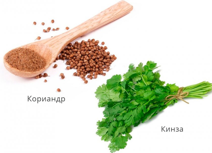 Кориандр и кинза