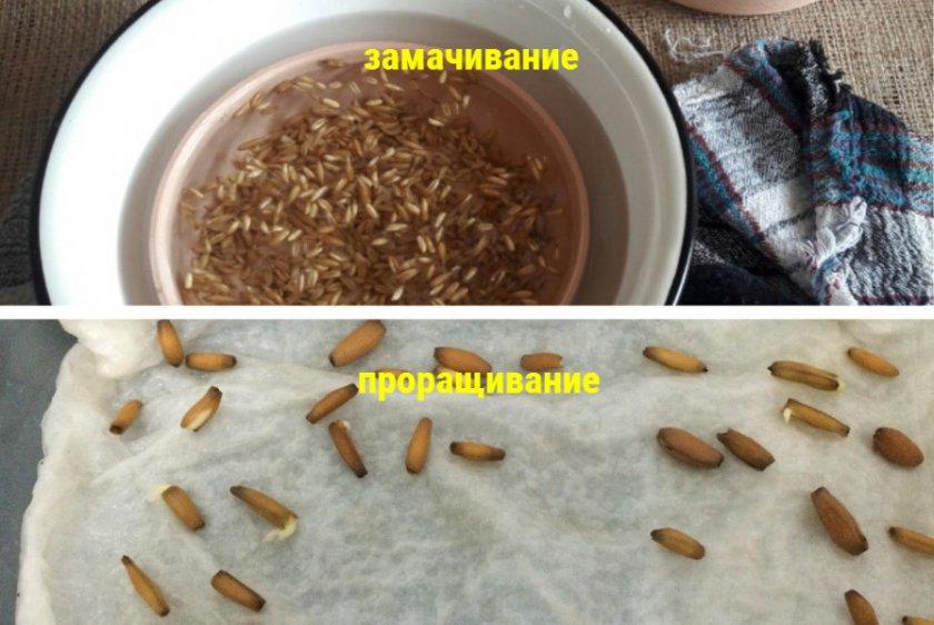 Обработка семян сельдерея